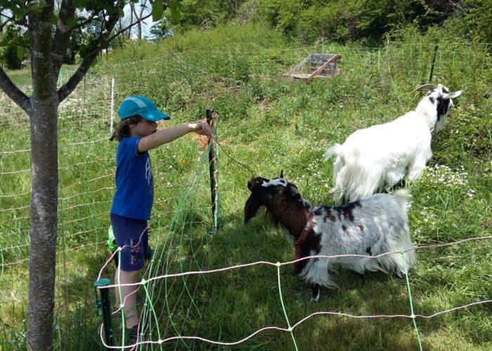 chèvres et enfant